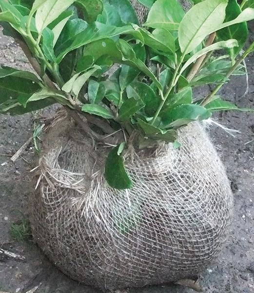 Root Wraps
